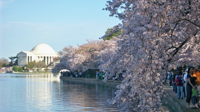 Cherry Blossoms. (Credit:  National Cherry Blossom Festival)