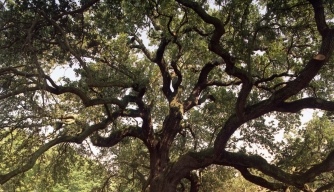 Emancipation Tree. (Credit: Hampton University)
