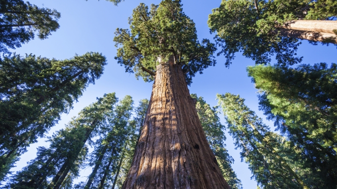General Sherman Tree in Sequoia National Park. (Credit: andrearoad/www.istockphoto.com)
