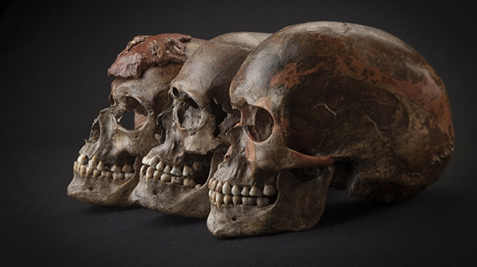 35,000-year-old skulls included in the study. (Credit: Martin Frouz and Jiří Svoboda)