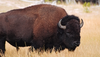 Bison Selected as the Official Mammal of the United States