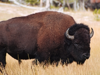 Yellowstone Bison. (Credit: Universal Education/Getty Images)