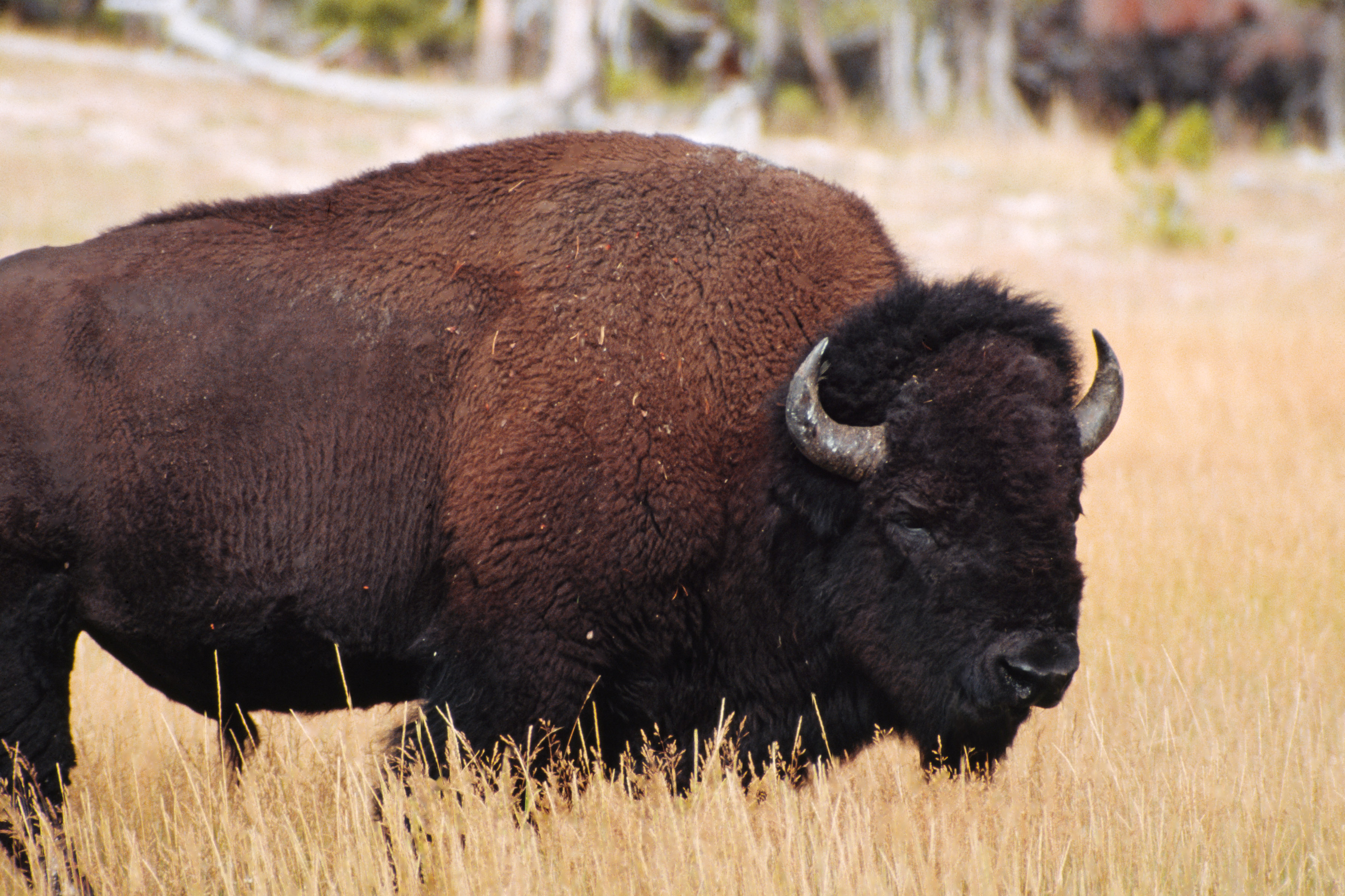 Bison Selected as the ...