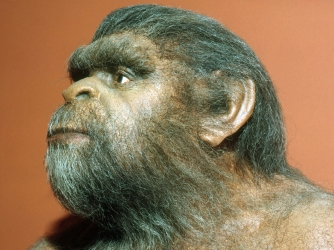 A model of Peking man (Homo erectus pekinensis), who lived from 1-2 million years ago. (Credit: TOM MCHUGH/Getty Images)