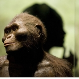 "A sculptor's rendering of the hominid Australopithecus afarensis is displayed as part of an exhibition that includes the 3.2 million year old fossilized remains of ""Lucy."" (Credit: Dave Einsel / Getty Images)"