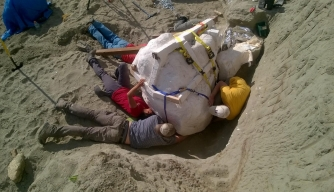 Paleontologists prepare to remove the T. rex skull from the dig site in northern Montana. (