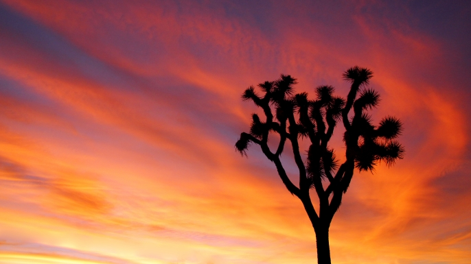 Joshua Tree at sunset.