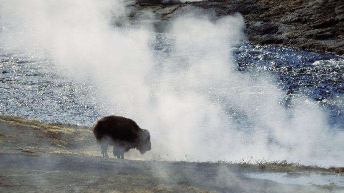 Bison an heisser Quelle, Yellowstone Nationalpark, Wyoming. (Credit: Konrad Wothe/Getty Images)