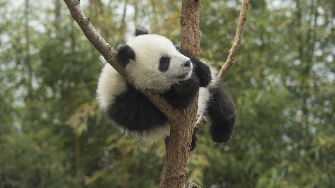 Giant Panda (Ailuropoda melanoleuca) eight month old cub sleeping in tree, Chengdu, Sichuan, China. (Credit: Katherine Feng/ Minden Pictures)