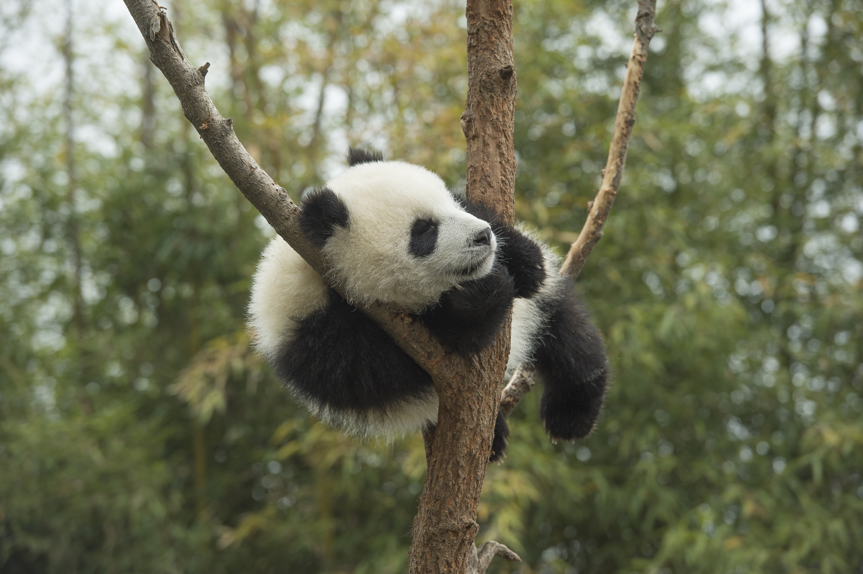 china s giant pandas arrive at belgian zoo 8 news celebrity