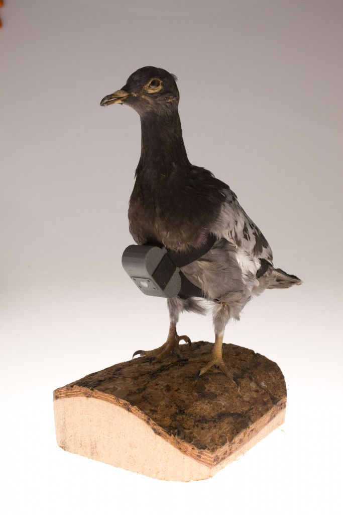 9_pigeon camera