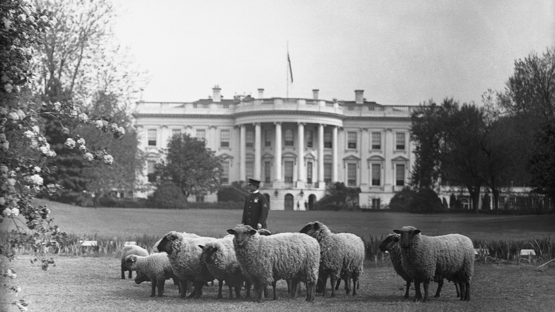Sheep grazing on the White House lawn, 1918. (Credit: Bettmann Archive/Getty Images)