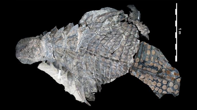 Photo-composite of preserved parts of the Borealopelta. (Credit: Caleb M. Brown/PeerJ/CC BY 4.0)