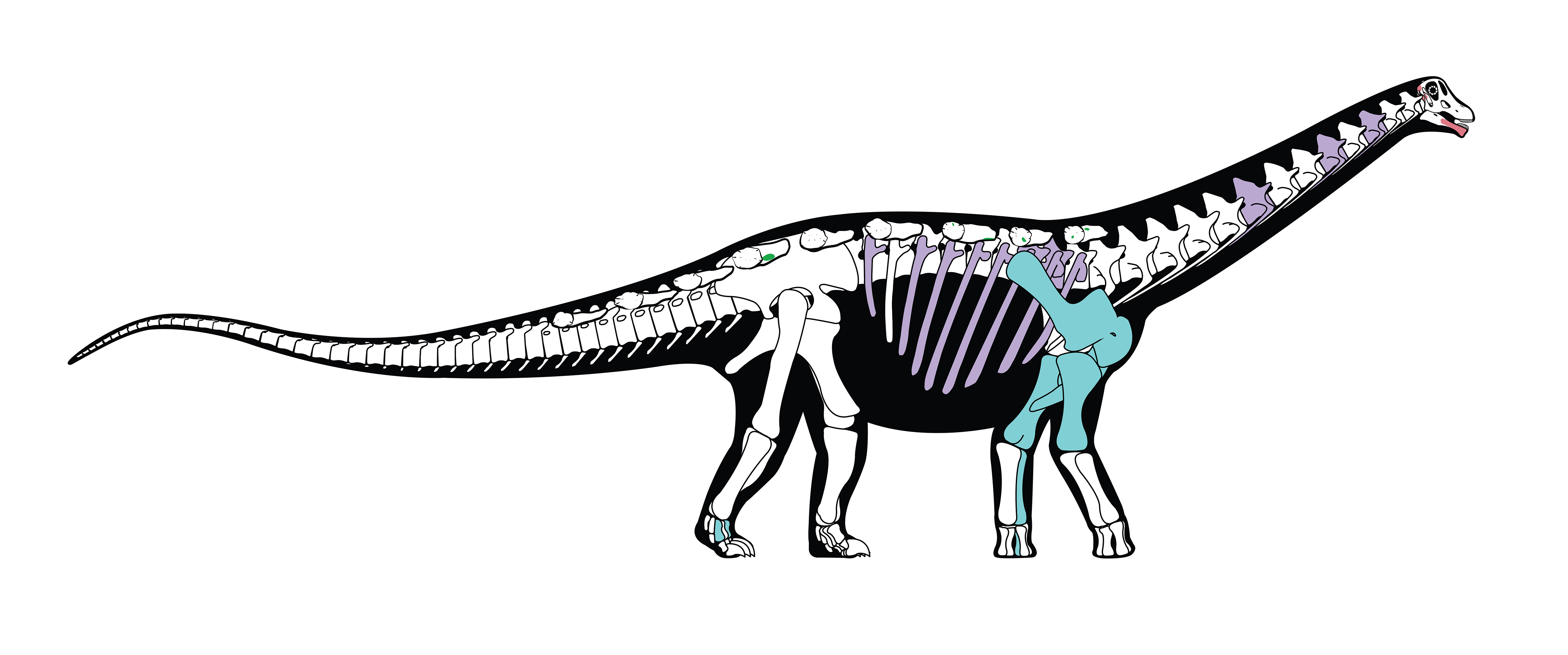 Skeletal reconstruction of the new titanosaurian dinosaur Mansourasaurus found in Egypt. Bones shown in color are those that are preserved in the original fossil; other bones are based on those of closely related dinosaurs. (Credit: Andrew McAfee/Carnegie Museum of Natural History)