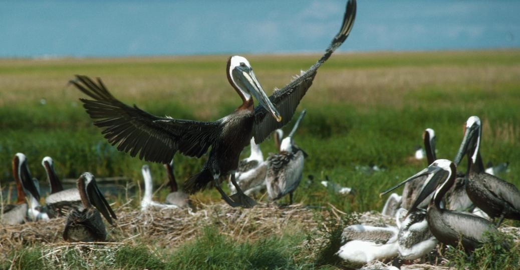 louisiana, state bird, pelican, brown pelican, the pelican state