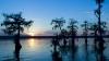 louisiana, state tree, bald cypress, island preserve, cypress