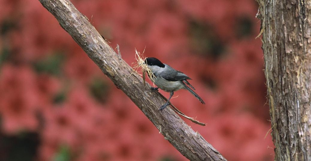 state bird, massachusetts, black capped chickadee