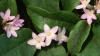 state flower, mayflower, massachusetts, trailing arbutus