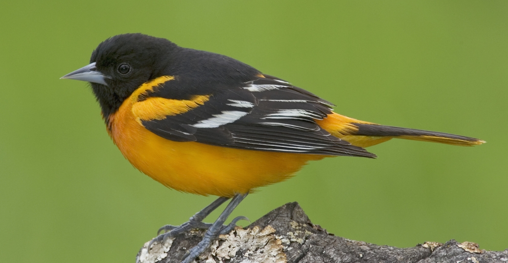 state bird, maryland, oriole, the orioles