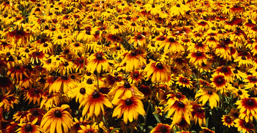 state flower, maryland, the black eyed susan, black eyed susan