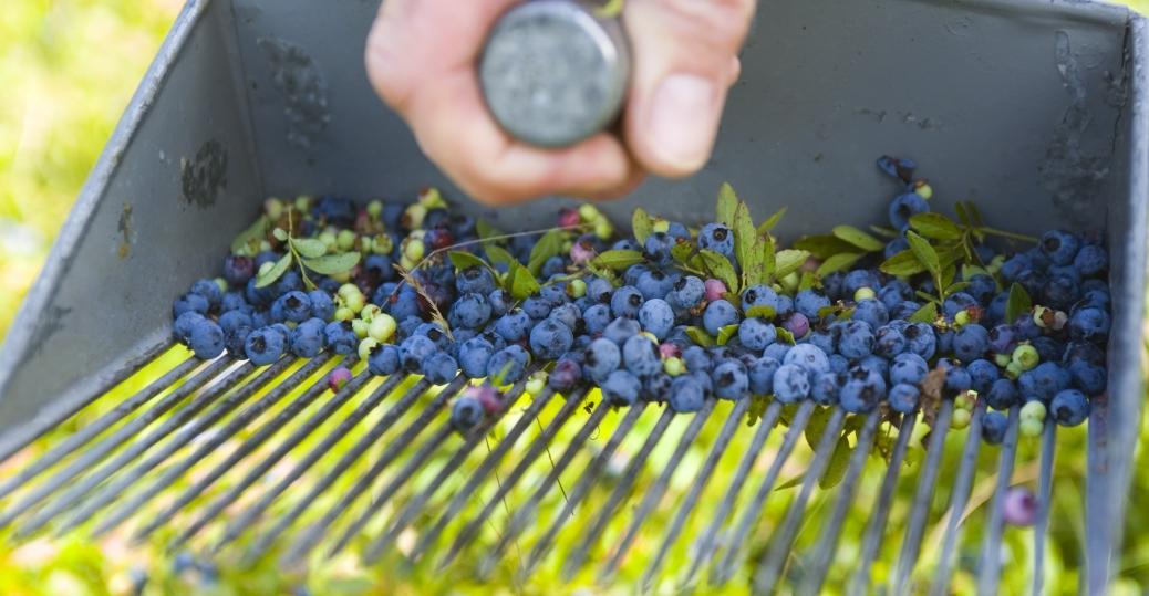 blueberries, maine, blueberry crop