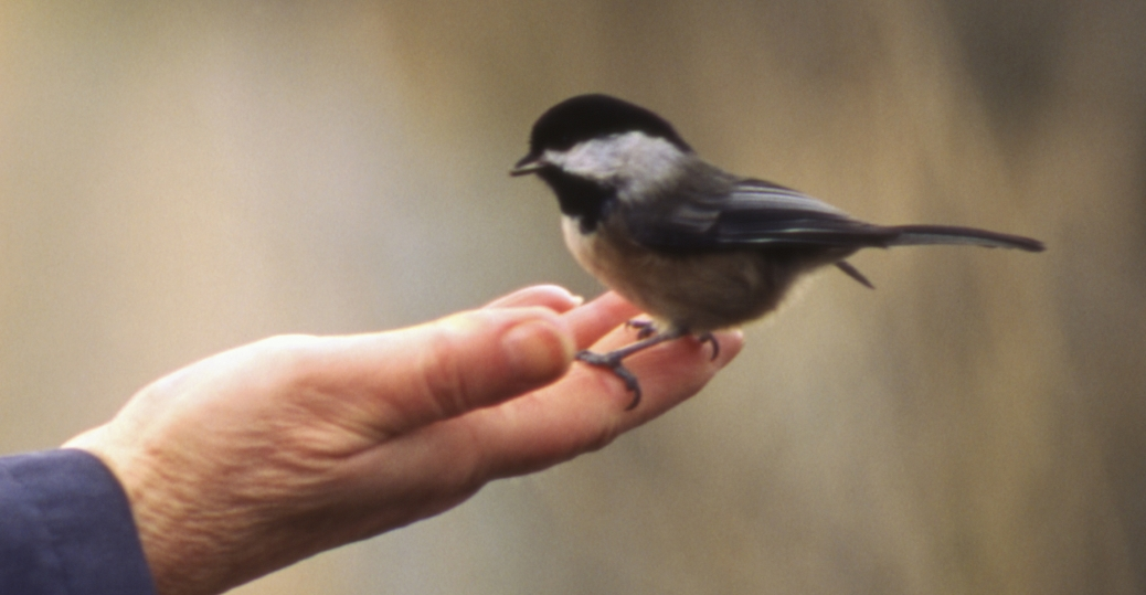 maine, state bird, the chickadee, chickadee