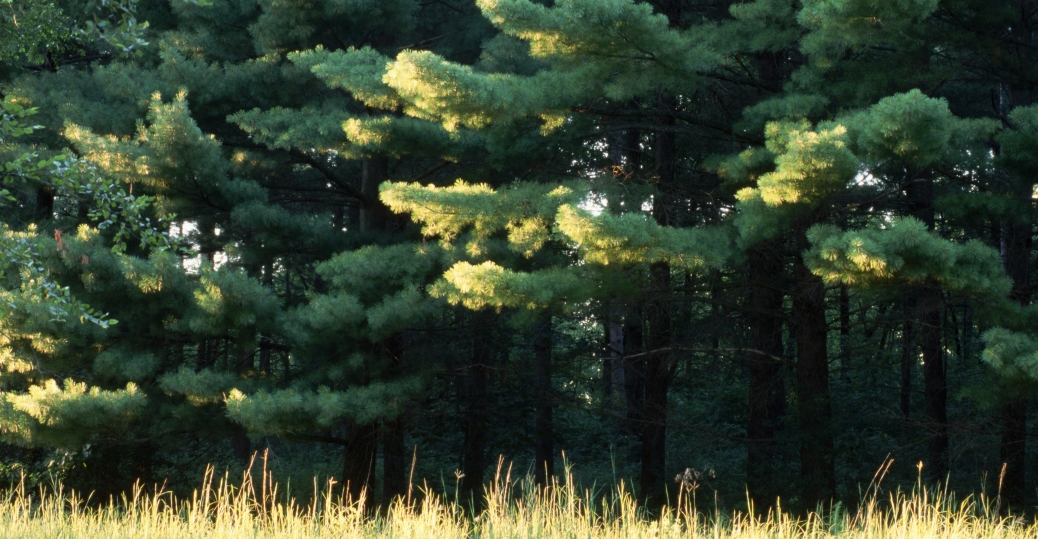 michigan, state tree, eastern white pine