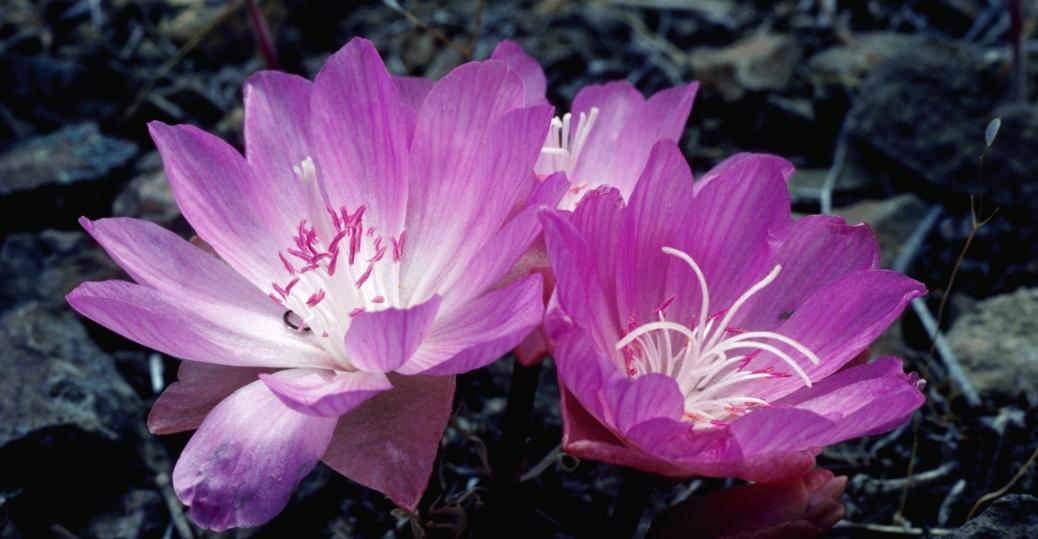 bitterroot, state flower, montana