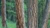 ponderosa pine tree, state tree, montana