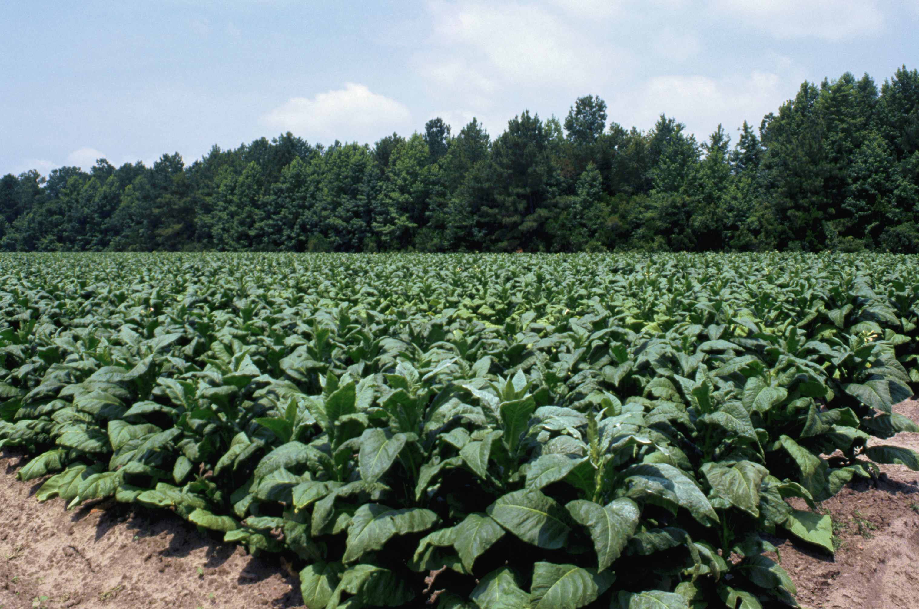 field-of-tobacco-plants - South Carolina Pictures - South ...