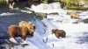 brown bears, grizzly bears, alaska, bears fishing