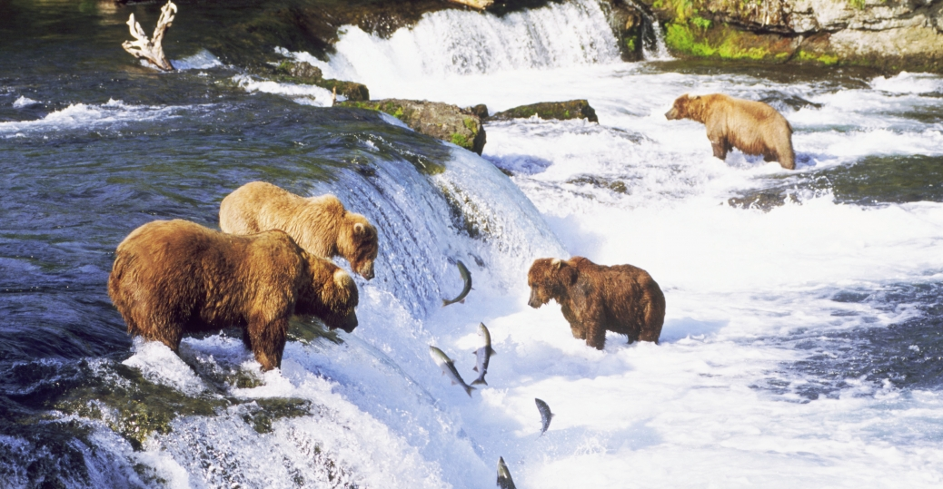 Brown-bears-fishing-alaska-2