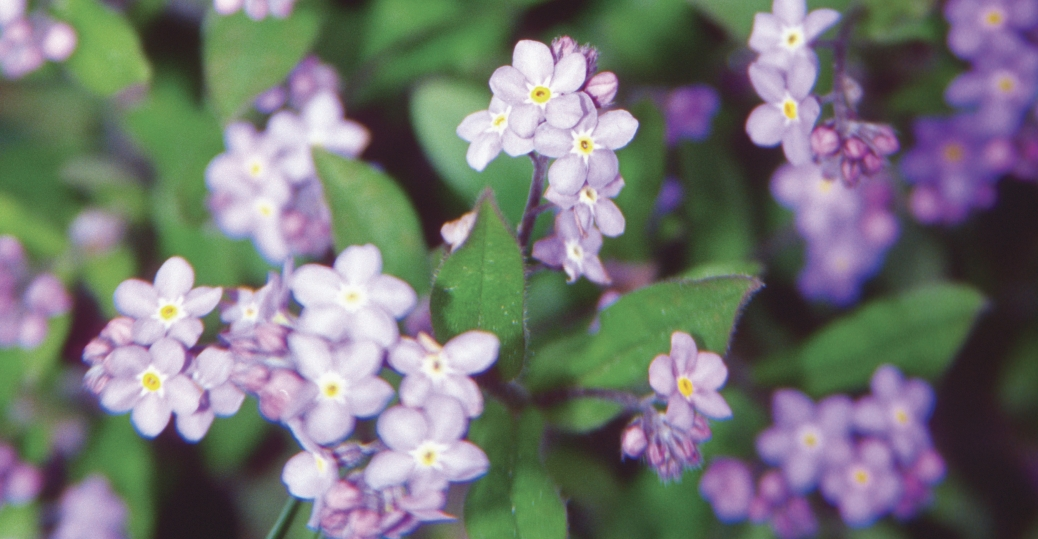 alaska, state flower, forget me not, alpine meadows