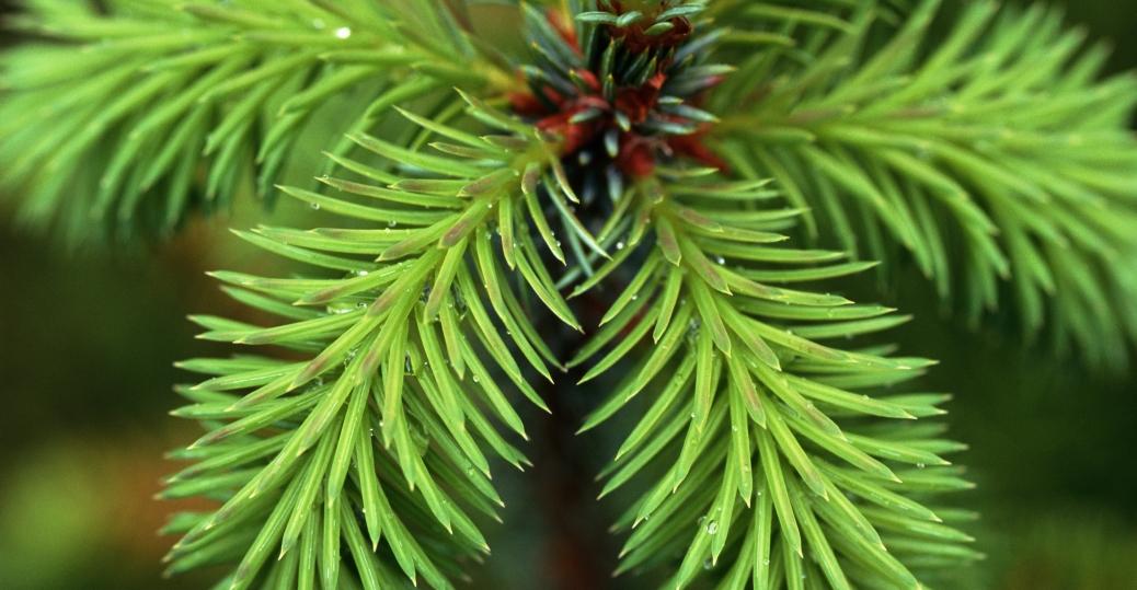 sitka spruce, state tree, alaska, southeastern alaska, central alaska