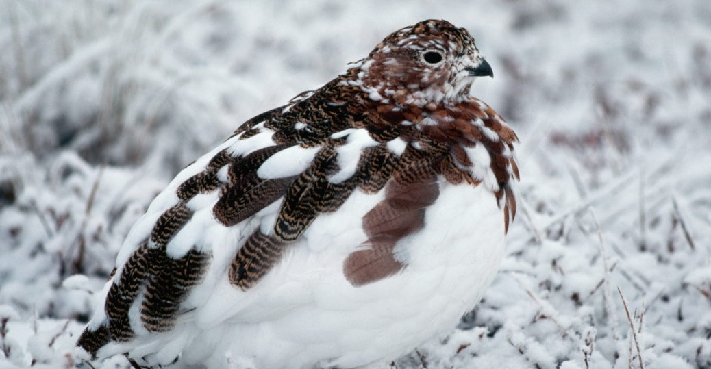 willow ptarmigan, state bird, alaska