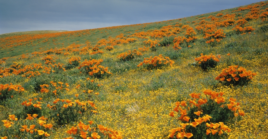california, state flower, poppy, the flame flower, la amapola, cops de oro, cup of gold