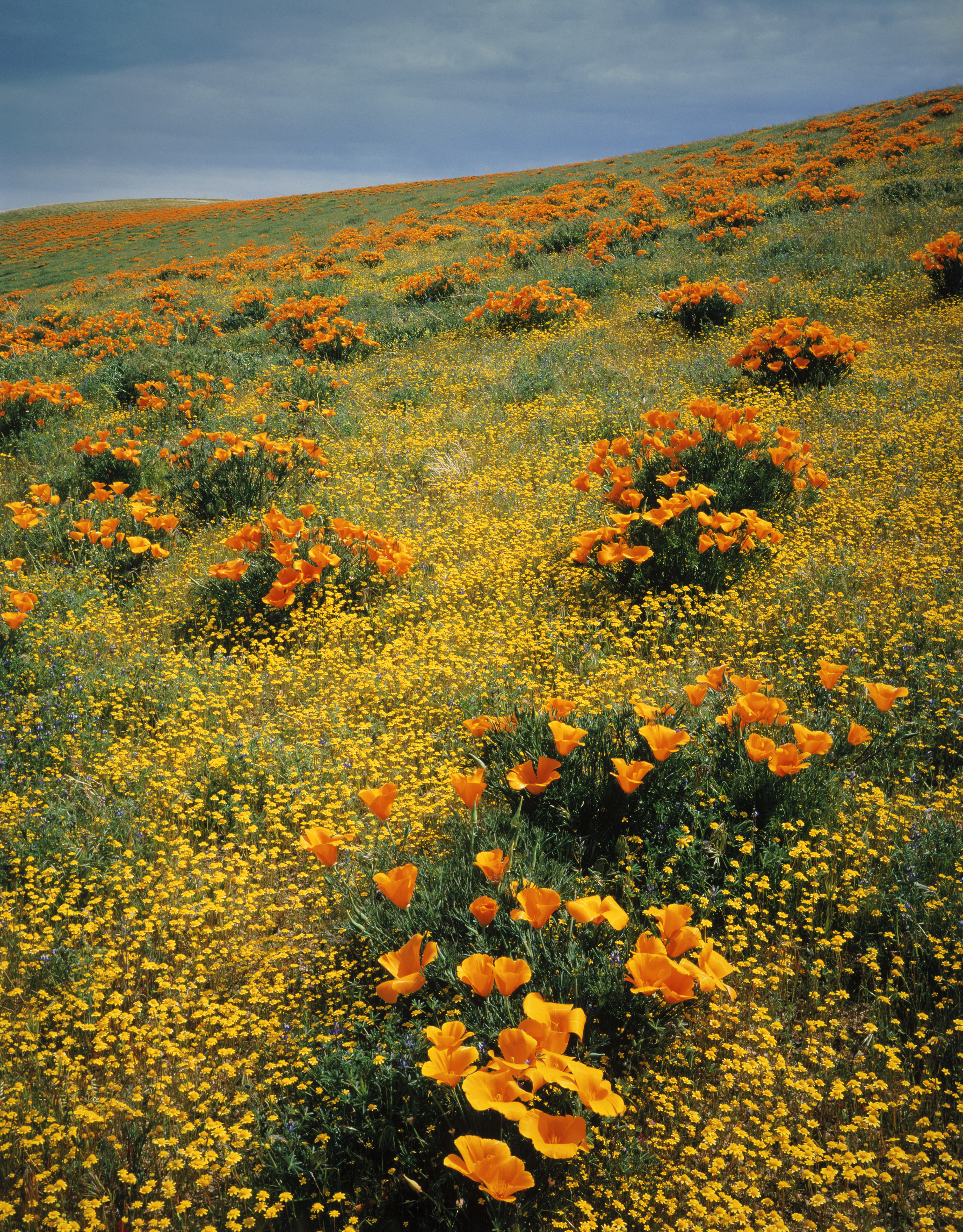 California Poppies Among Goldfields California Pictures