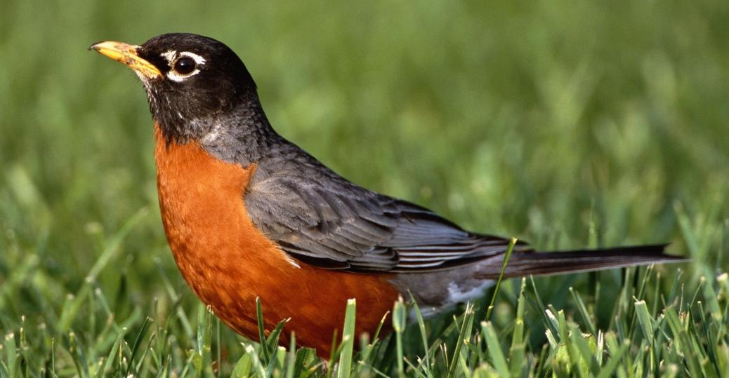 american robin, state bird, connecticut, migratory thrush, turdus migratorius, robin