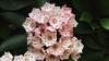 state flower, mountain laurel, native american shrubs, connecticut