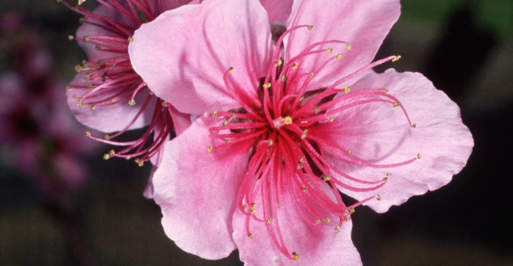 peach blossom, state flower, delaware