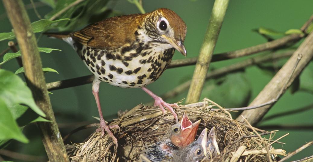 the wood thrush, state bird, district of columbia, washington d.c., cowbird, chicks