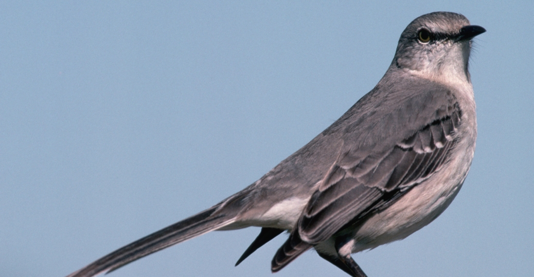 northern mockingbird, mockingbird, florida, state bird, songbird