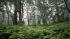 koa trees, palaipalai ferns, hawaii, hawaii volcanos national park