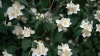wild syringa, mock orange, flower, state flower, idaho