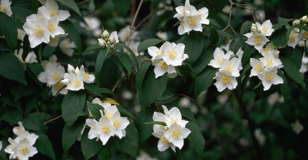 wild syringa, mock orange, flower, state flower, idaho
