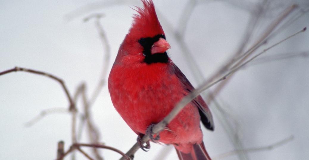 cardinal, state bird, illinois, chicago