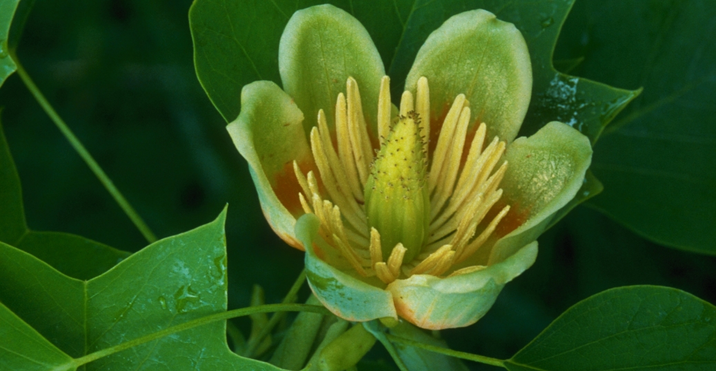 indiana, tulip, popular tree blossom, state tree