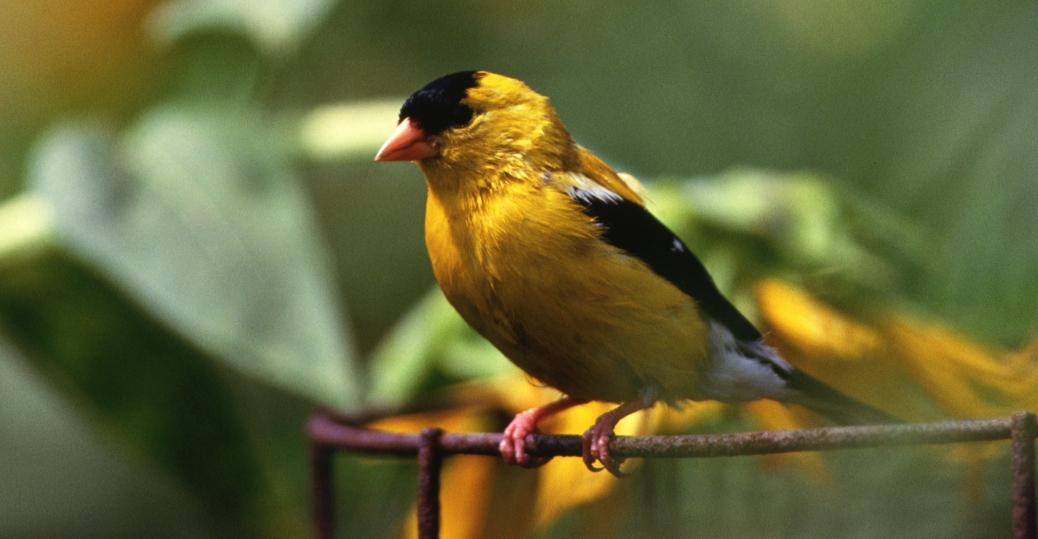 goldfinch, state bird, iowa