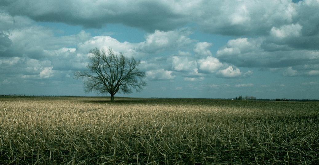 oak, tree, state tree, iowa, oak tree, corn field