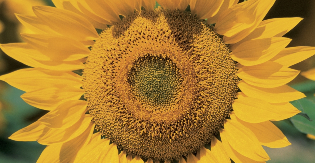 sun flower, kansas, state flower, helianthus annuus